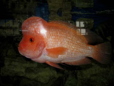 рыба гурами фото | Фотоархив: http://photo.bigbo.ru/?p=7205