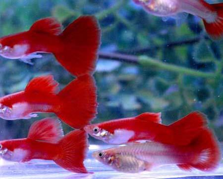 Гамбузия фото видео содержание и уход в аквариуме
